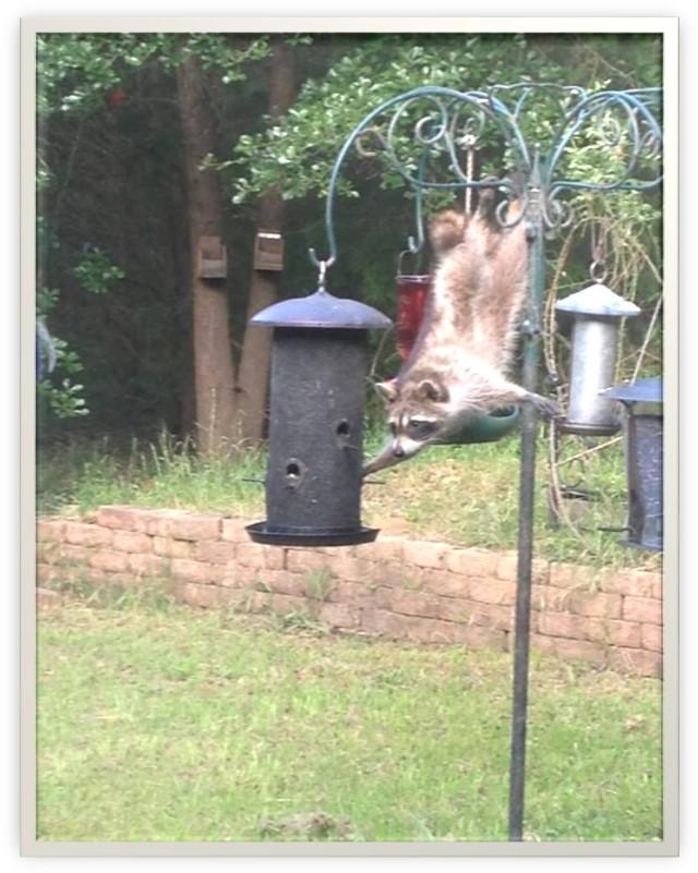 Raton l'acrobate  Image010