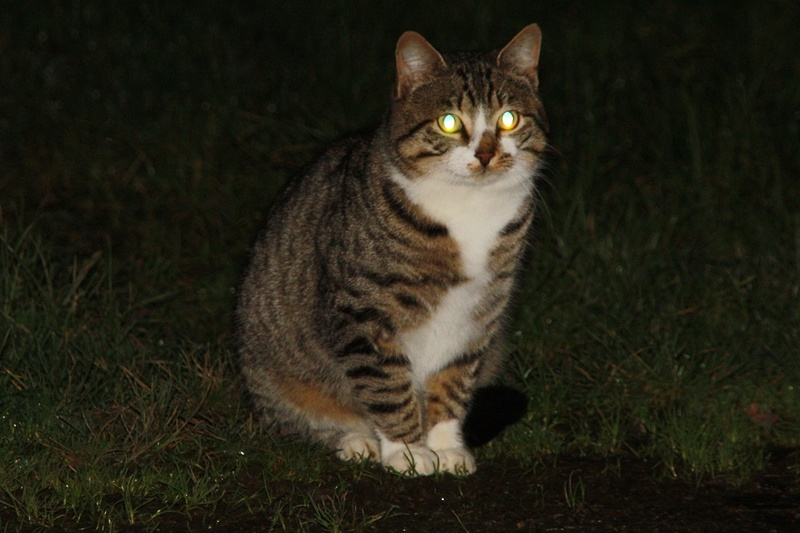 "Chat ""Lumo"", mâle type européen tabby et blanc Img_4120"