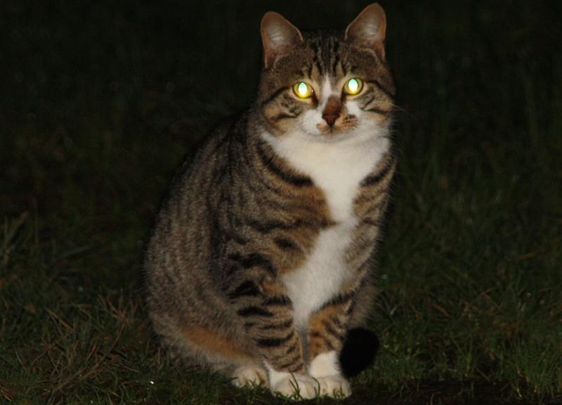 "Chat ""Lumo"", mâle type européen tabby et blanc Img_4121"