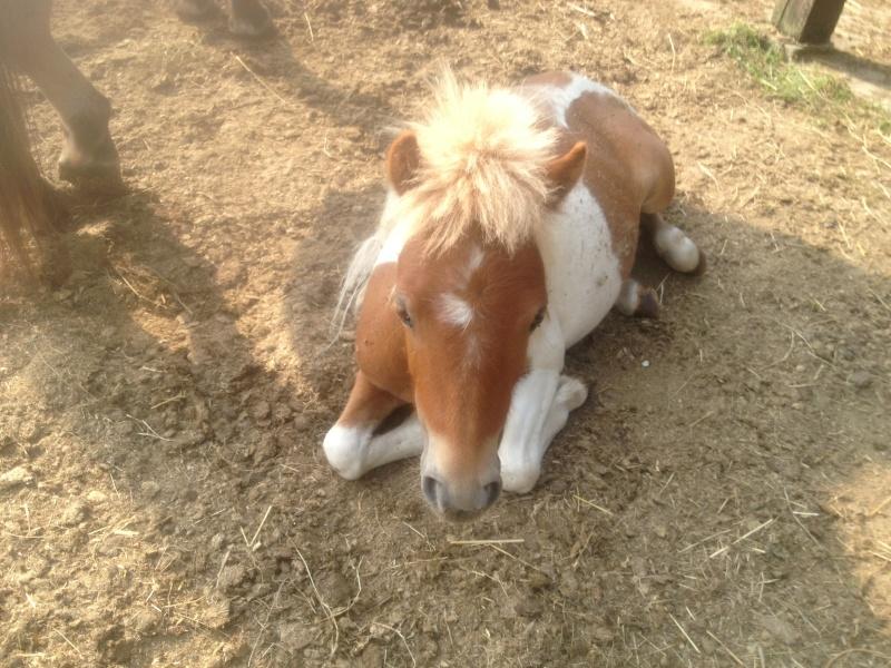 TAGADA - ONC poney typé Shetland né en 2008 - adopté en août 2013 Img_0810