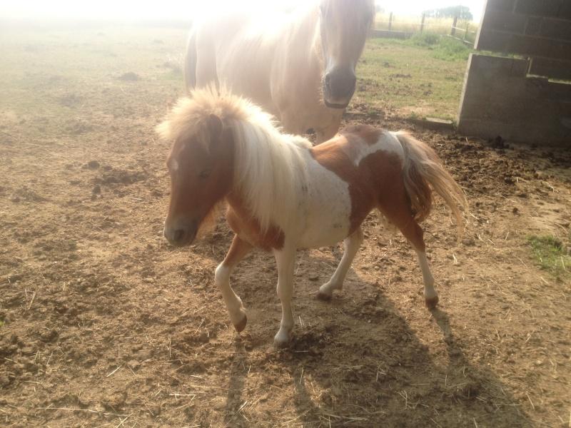 TAGADA - ONC poney typé Shetland né en 2008 - adopté en août 2013 Img_0811