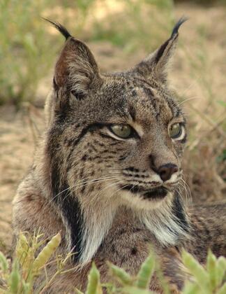 Votre Animal Totem - Page 2 Lynx10