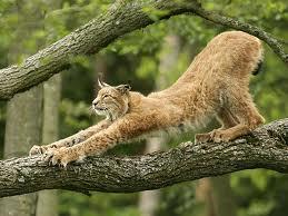 Votre Animal Totem - Page 2 Lynx_310