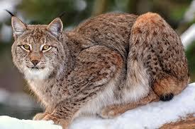 Votre Animal Totem - Page 2 Lynx_311