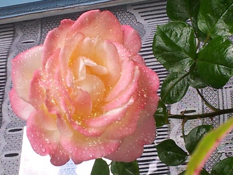 Remerciements à l'Univers - Page 4 Rose_a10