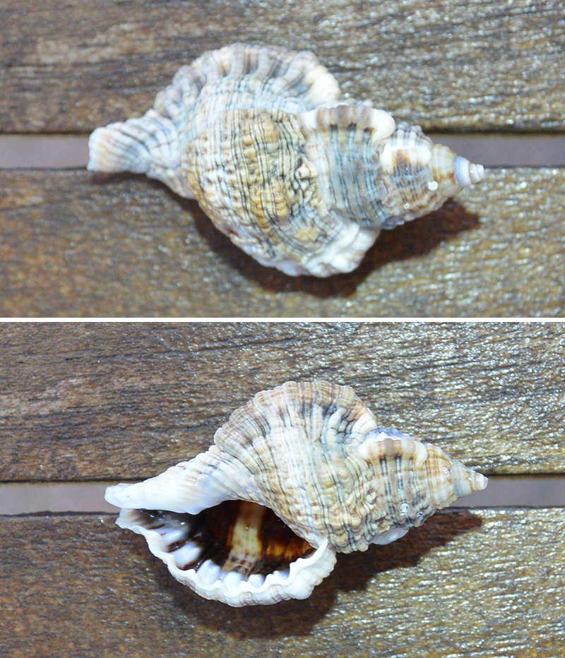 Gutturnium muricinum (Röding, 1798) 210