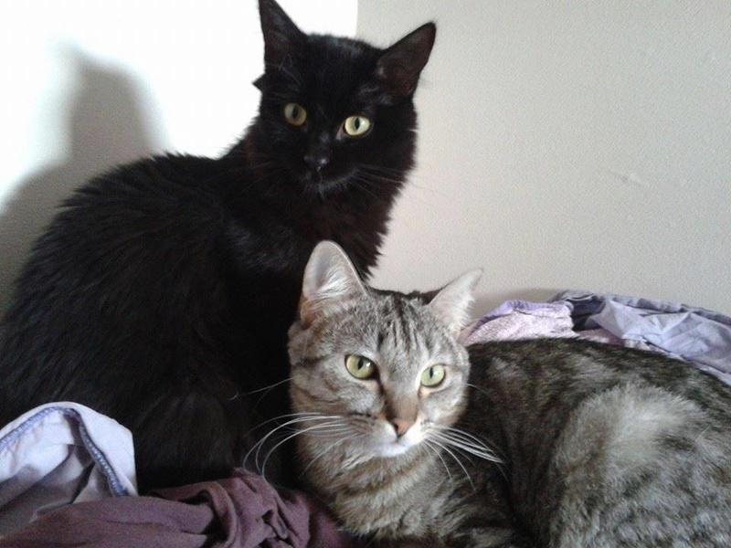 DOMINO (chaton mâle poils mi long) 15401010