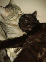 DOMINO (chaton mâle poils mi long) 15420910