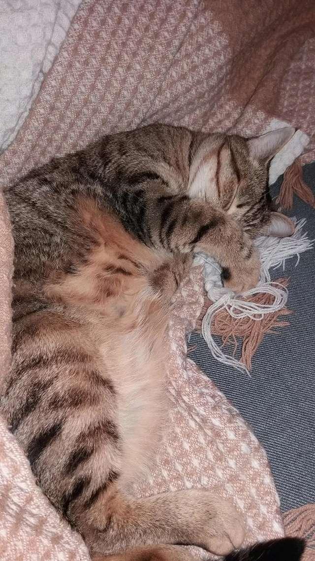 MELBOURNE (chaton tigré marron) 16112912