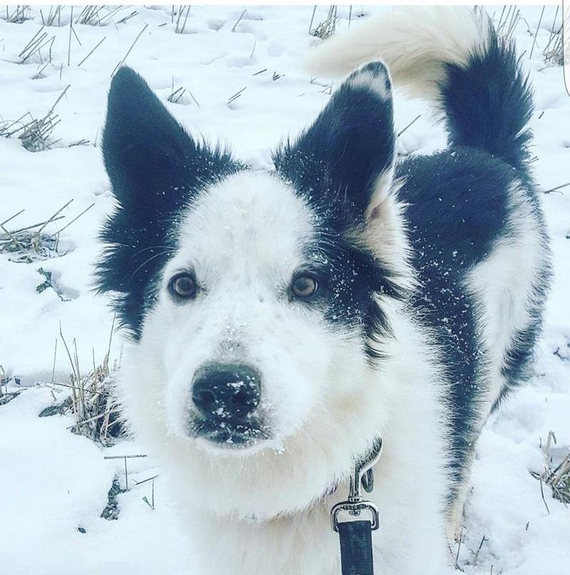 TWISTE (chien mâle border collie noir et blanc) 16387210