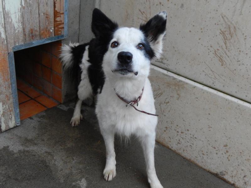 TWISTE (chien mâle border collie noir et blanc) 1dscn510