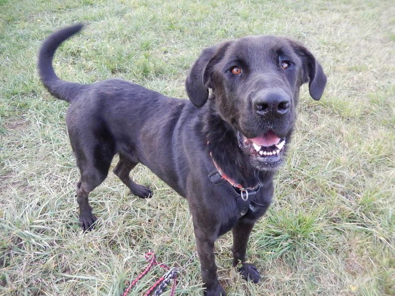 LOUXOR (chien mâle croisé dogue labrador) 1dscn511