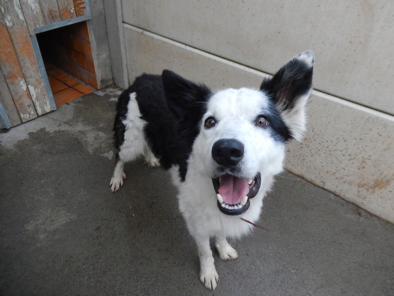 TWISTE (chien mâle border collie noir et blanc) 2dscn510