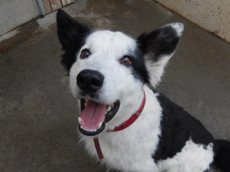 TWISTE (chien mâle border collie noir et blanc) 3dscn510
