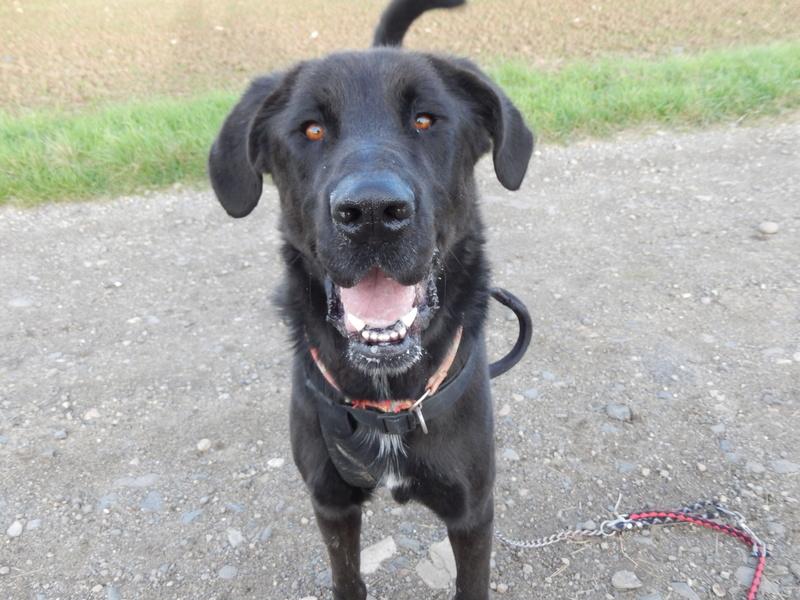 LOUXOR (chien mâle croisé dogue labrador) 8dscn510