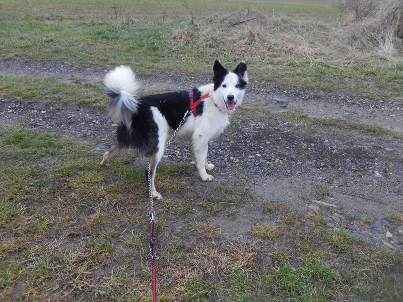 TWISTE (chien mâle border collie noir et blanc) Dscn6214