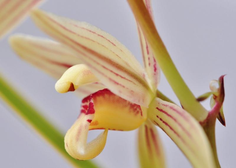 cymbidium ensifolium 2016-113