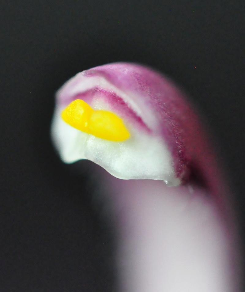 Cymbidium erythrostylum 2017-017