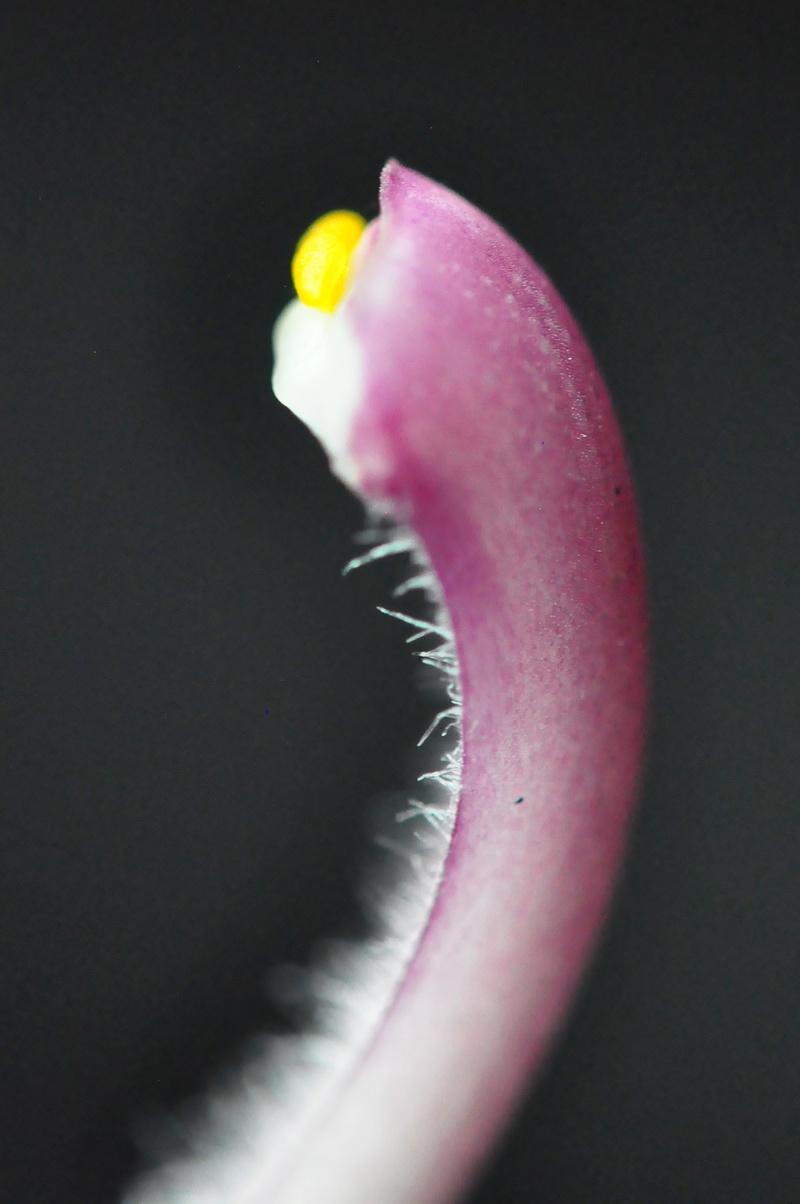 Cymbidium erythrostylum 2017-019