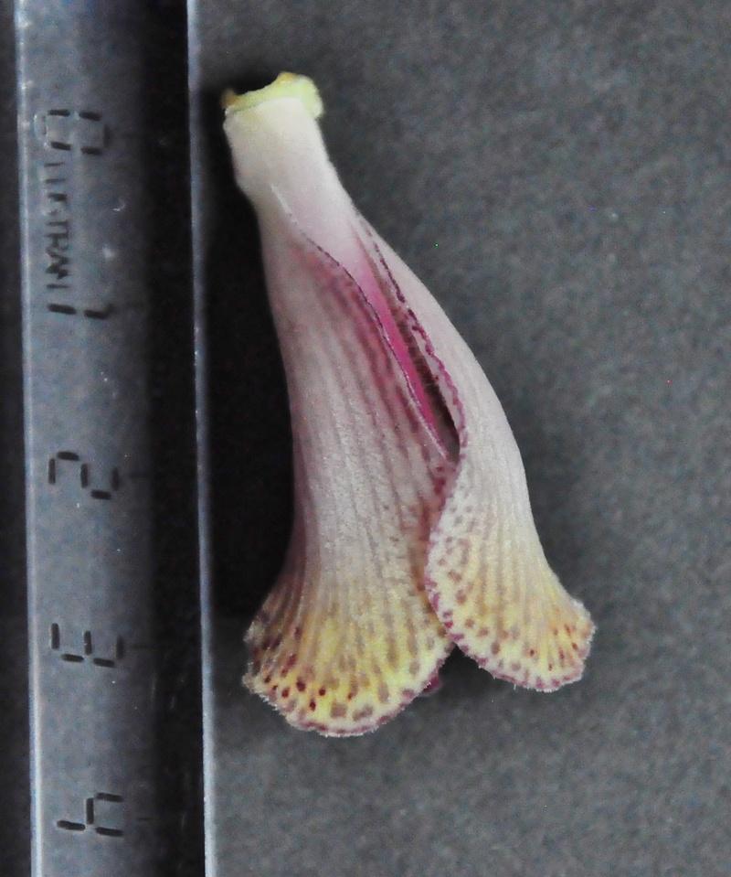 Cymbidium erythrostylum 2017-020