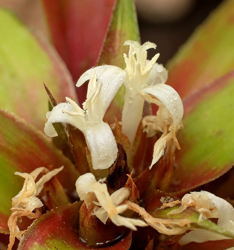 Cryptanthus bromelioides Crypta13