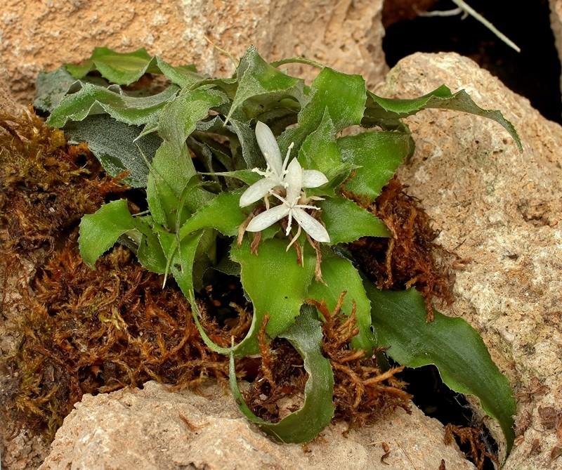 Cryptanthus acaulis Crypta14
