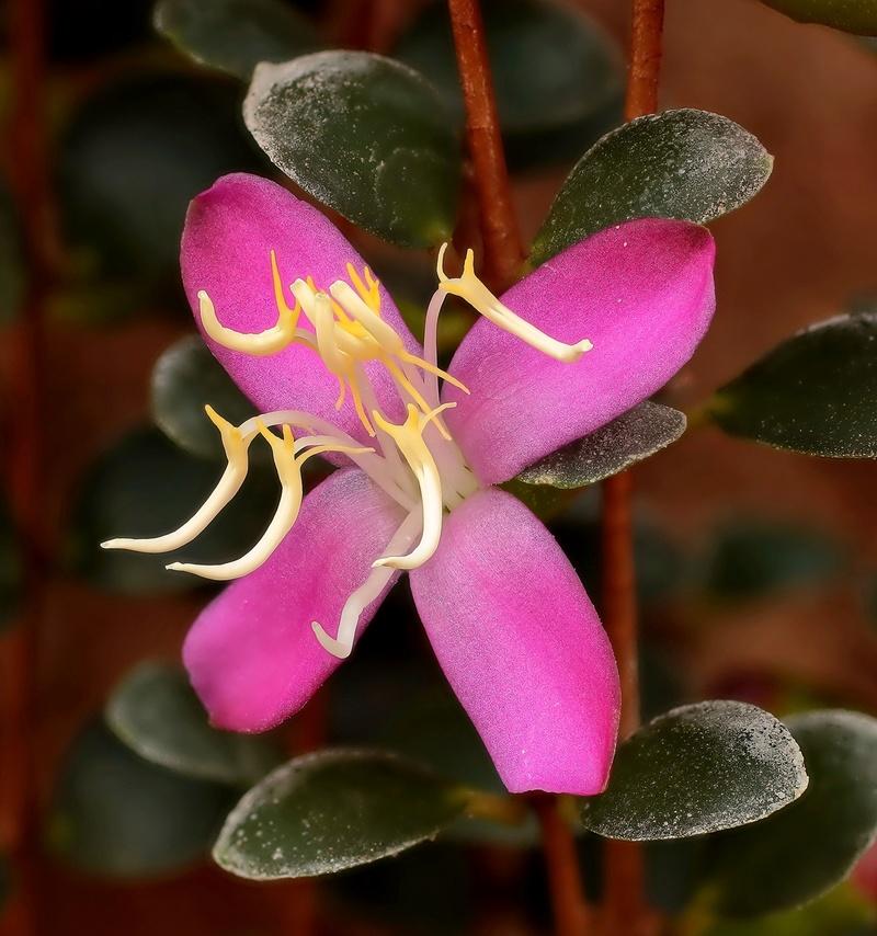 Medinilla sedifolia Medini10