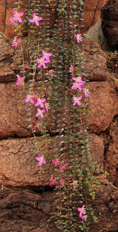 Medinilla sedifolia Medini13