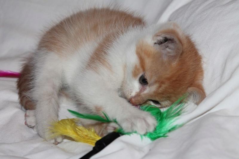 Miel - Roux et blanc né le 29/08/2016 Img_5148