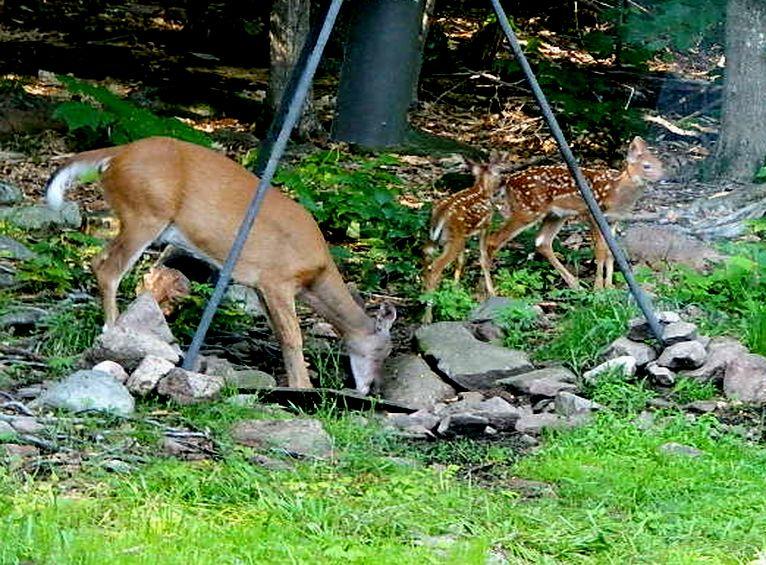 Femelle 2 veaux Bambi210