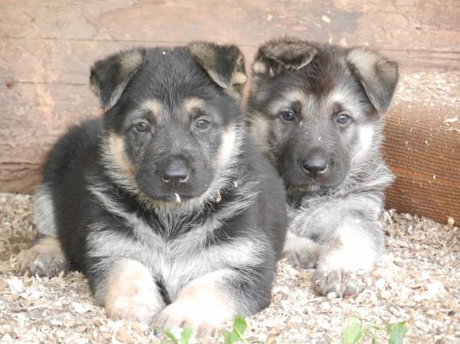 Что нужно знать при выборе щенка ВЕО 134512