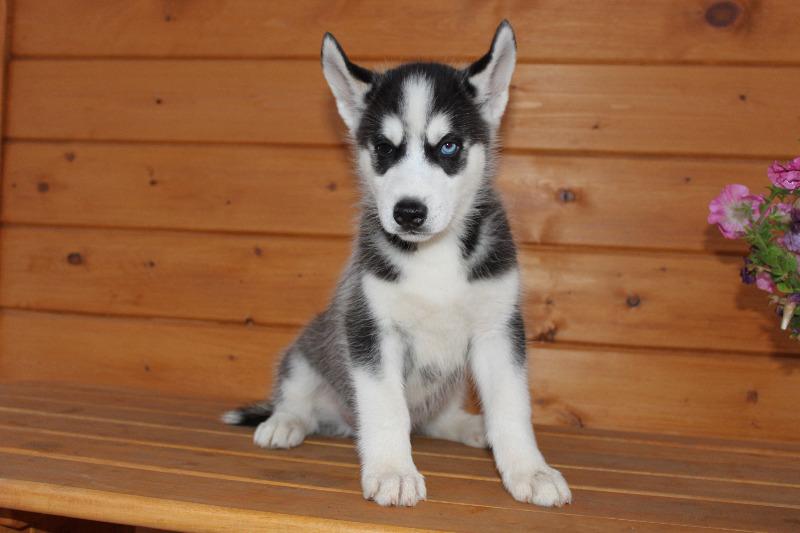 продаются щенки Сибирского хаски - Страница 2 Img_9910