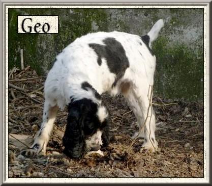 GEOo  Cocker Spaniel blanc/noir 9 ans  -   REFUGE DES BERAUDS A  ROMANS  (26) Geo_210