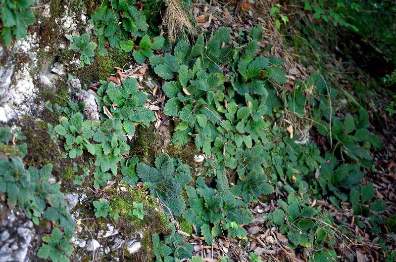 Comment cultiver Ramonda myconi ? Ramond10