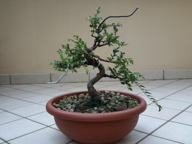 primo bonsai un inizio di una nuova passione (zelkova nire) 20151011