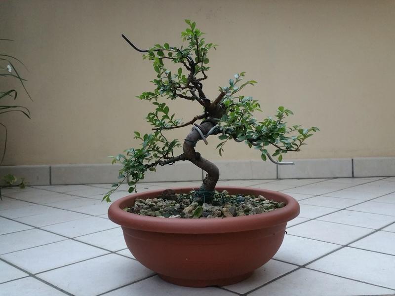 primo bonsai un inizio di una nuova passione (zelkova nire) 20151012