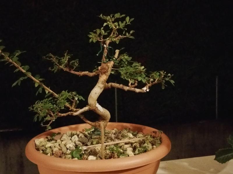 primo bonsai un inizio di una nuova passione (zelkova nire) 20161010