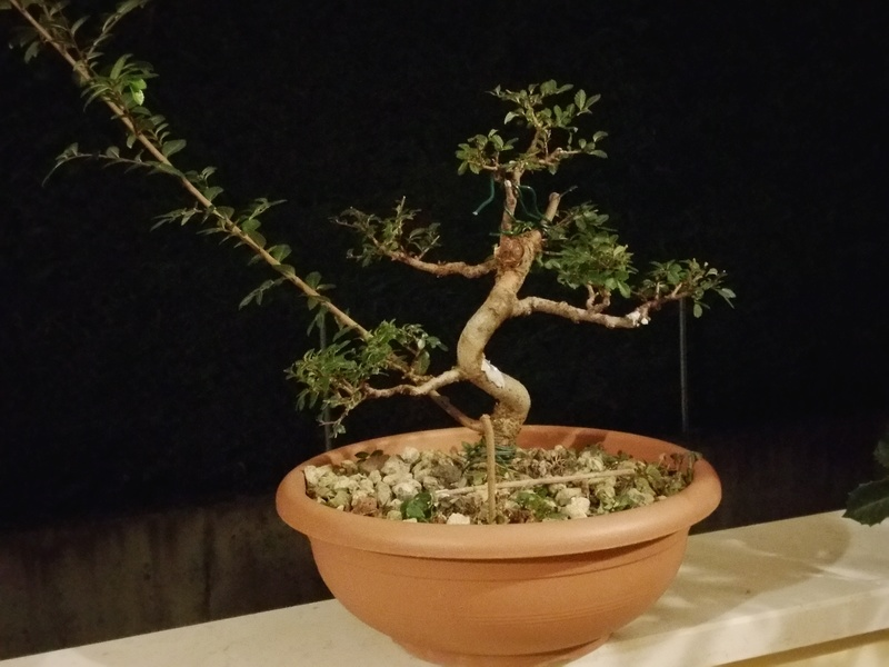 primo bonsai un inizio di una nuova passione (zelkova nire) 20161011