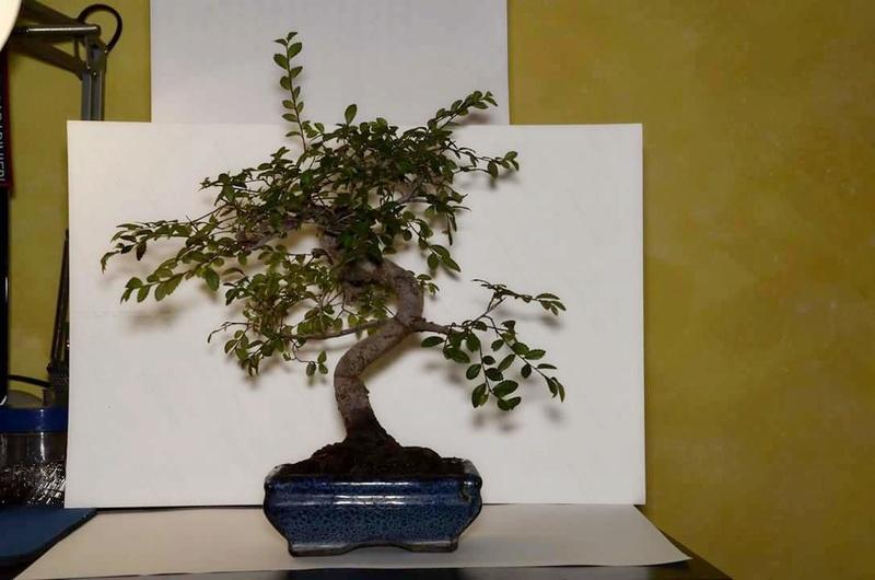 primo bonsai un inizio di una nuova passione (zelkova nire) Fb_img12