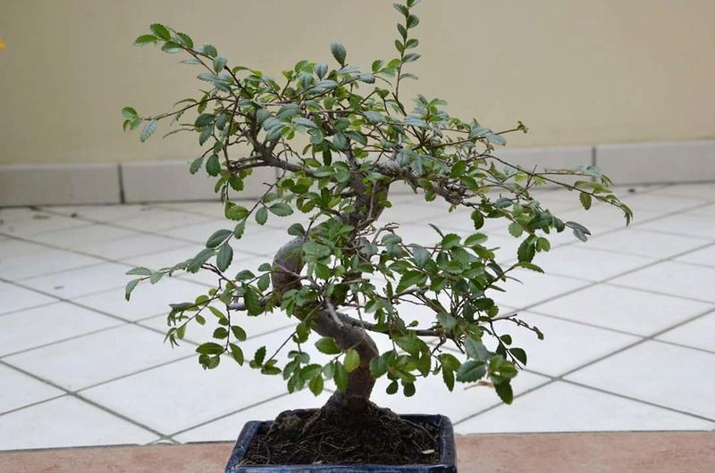 primo bonsai un inizio di una nuova passione (zelkova nire) Fb_img13