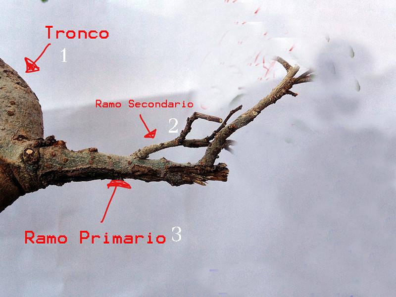 primo bonsai un inizio di una nuova passione (zelkova nire) Ggg10