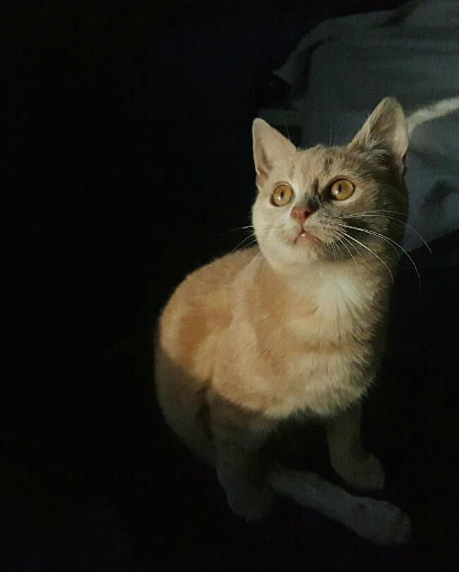 Milo, européen tigré roux né le 1er Septembre 2016 Img_2026