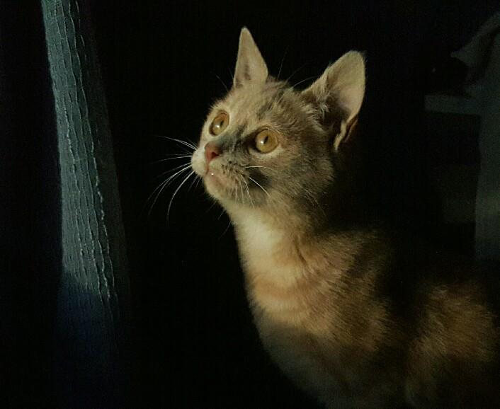 Milo, européen tigré roux né le 1er Septembre 2016 Img_2027