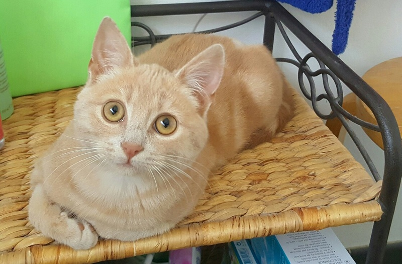 Milo, européen tigré roux né le 1er Septembre 2016 - Page 3 Img_2067