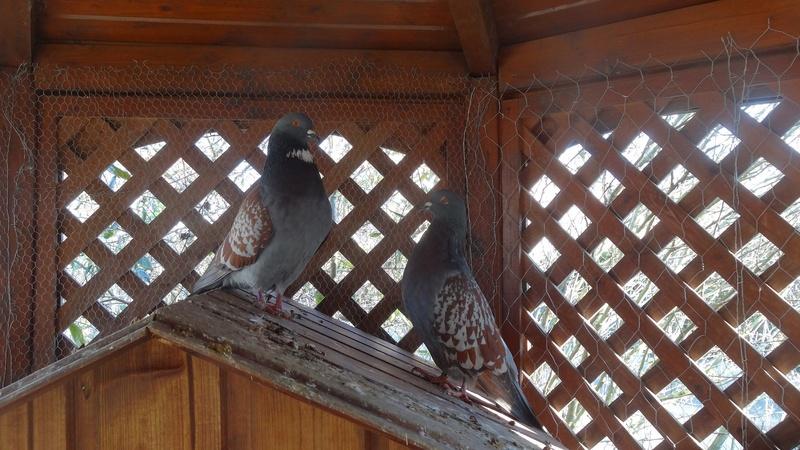 Pigeonnier : mes nouveaux amis 00711