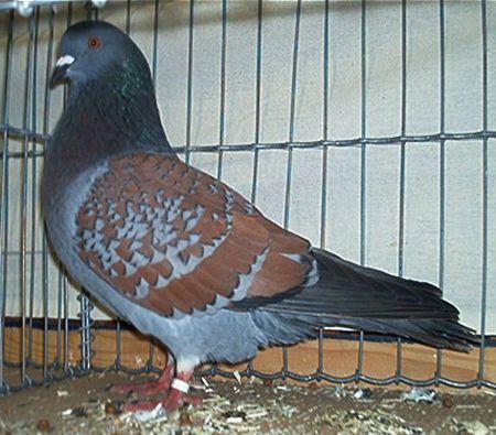 Pigeonnier : mes nouveaux amis 77117110