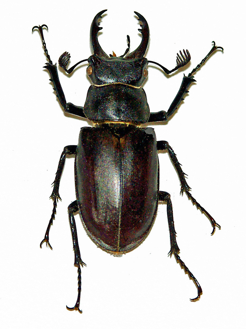 Lucanus (lucanus) laticornis  Lucanu13