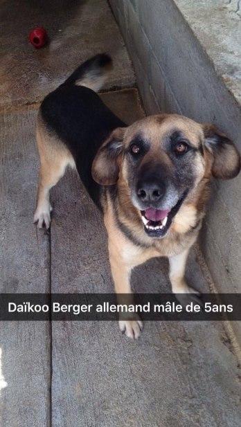 DAIKOO - berger allemand 8  ans  (6 ans de refuge) - ASA81 à Aussillon (81) 13876310