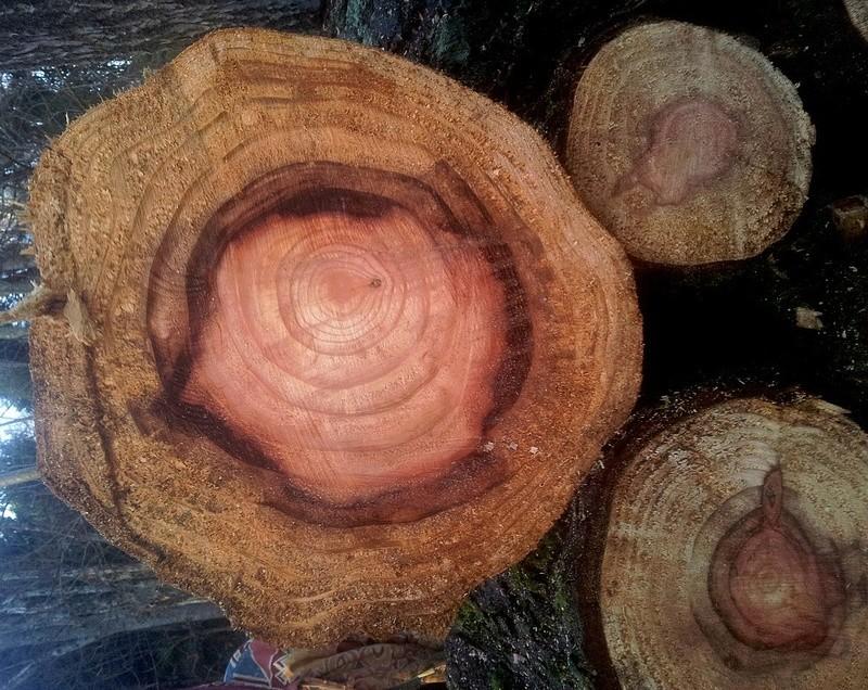 Sequoiadendron giganteum - séquoia géant - Page 4 20160110
