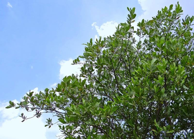Acacia Aca1011